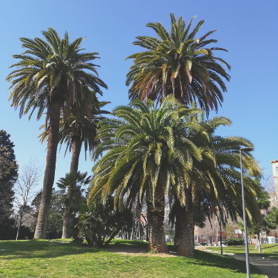 Les palmiers venus des Canaries